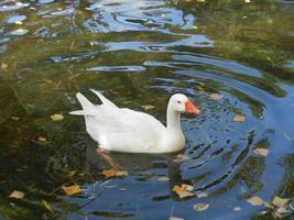un canard blanc dans la fourrière photo