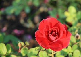 rose rouge dans le jardin photo