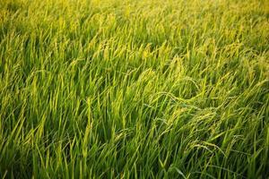 rizière en thaïlande