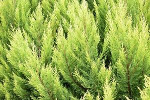 feuilles de cyprès citron photo