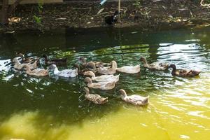 Groupe de canards nageant dans un marais photo