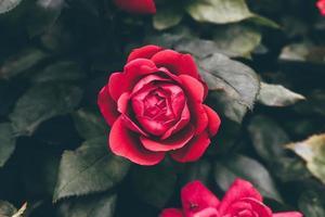 roses roses à l'extérieur photo