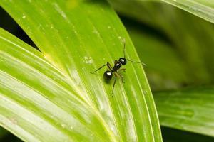 fourmi noire sur une feuille photo