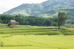 ferme de riz en thaïlande