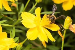 abeille à la recherche de nectar sur une fleur photo