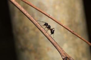 fourmi noire sur une branche photo