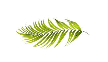 feuille de palmier vert clair