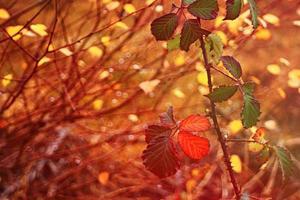 Feuilles de ronce colorées, fond bokeh, fin de l'automne