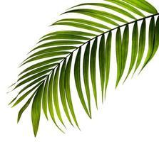 feuille de palmier close-up isolé