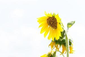 tournesol en pleine floraison