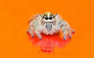 araignée sur fond orange