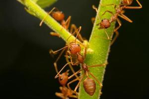 fourmis rouges sur une branche photo