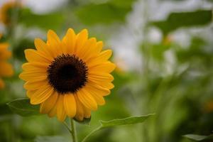 Gros plan d'un tournesol en fleurs dans un champ avec fond nature floue photo
