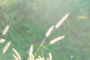 fleurs d'herbe sur fond vert