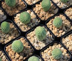 cactus dans des jardinières
