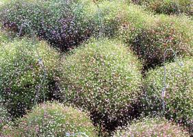 haies de fleurs de gypsophile photo