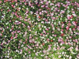 vue de dessus des fleurs de gypsophile photo