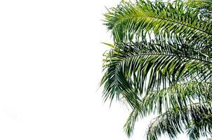 palmier sur fond blanc
