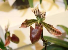 Lady slipper orchidée photo