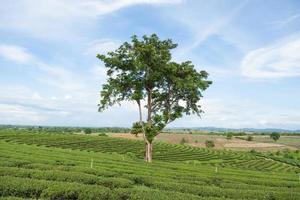 arbre dans une ferme de thé