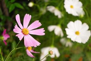 fleur de marguerite en fleurs photo