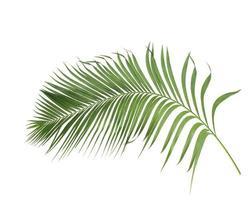branche de noix de coco courbée photo
