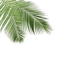 deux branches de feuilles de cocotier