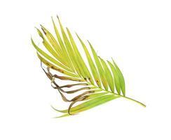 brunissement des feuilles de palmier