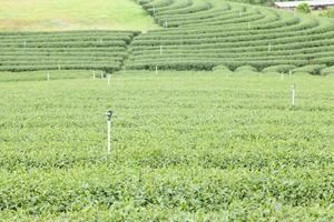 ferme de thé en thaïlande photo
