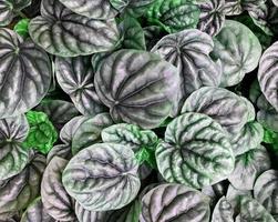 feuilles violettes et vertes foncées