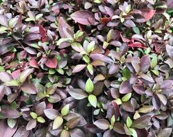 feuilles violettes et vertes