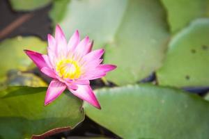 fleur de lotus dans l'étang