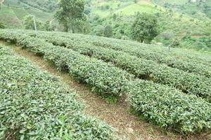 ferme de thé en thaïlande