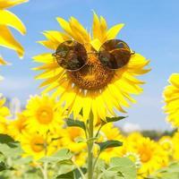 tournesol avec des lunettes de soleil
