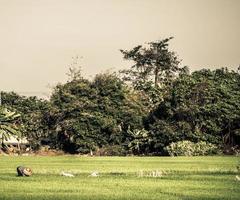 agriculteur plantant sur les terres agricoles de riz paddy biologique