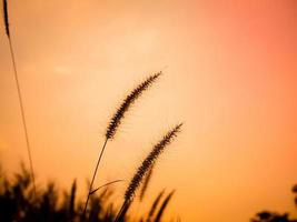 herbes sauvages avec fond de coucher de soleil orange photo