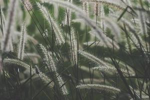 herbes de quenouilles sauvages photo