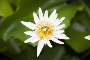 fleur de lotus blanc dans l & # 39; étang photo