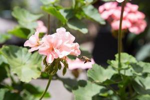 abeilles à la recherche de nectar photo