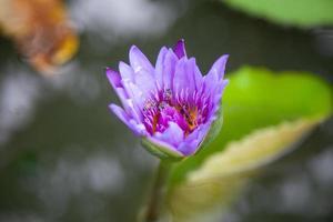 lotus bleu en fleurs photo
