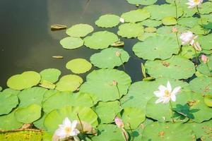 étang rempli de nénuphars ou de lotus