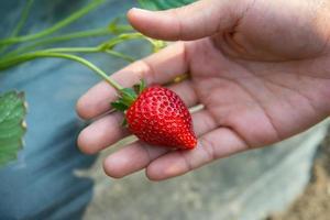 fraises fraîches cueillies à la main dans une ferme de fraises photo