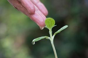 la main de la femme arrosant un petit semis photo