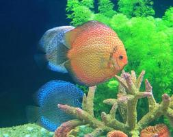 poisson discus dans un aquarium photo