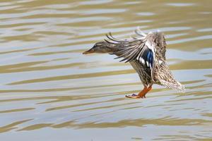 Canard colvert femelle atterrissant sur l'eau
