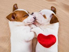 Portrait de deux chiots Jack Russell Terrier dormir photo