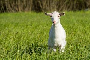 jeune chèvre blanche dans l'herbe verte photo
