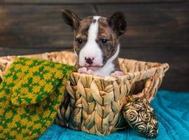 Portrait de chiot basenji dans un panier en osier avec gant tricoté, ornement coeur et fond de bois photo