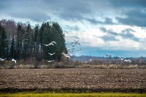 volée de cygnes survolant le champ photo