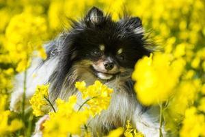 Chien poméranien dans le champ de fleurs de colza photo
